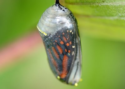 Monarch_cocoon_250808_20